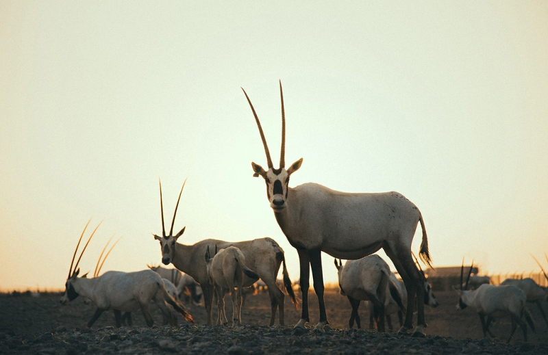 al-wusta-wildlife-reserve